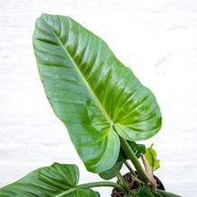 Load image into Gallery viewer, Philodendron Subhastatum