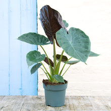 Load image into Gallery viewer, Alocasia Wentii 'Hardy Elephant Ear'