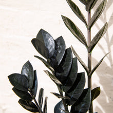 Load image into Gallery viewer, Zamioculcas Zamifolia 'Raven'
