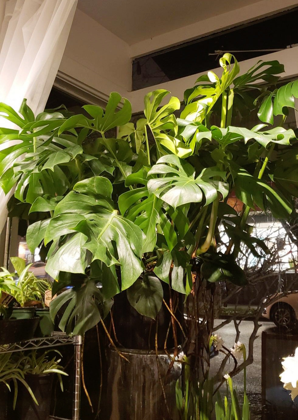 Giant Monstera Plant
