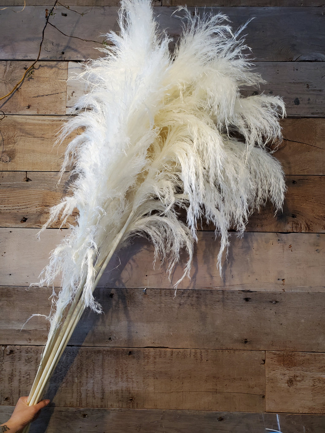 Dutch Pampas Grass