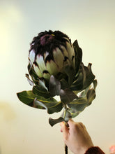 Load image into Gallery viewer, Family of Protea