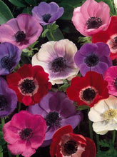 Load image into Gallery viewer, Fresh Cut Anemone
