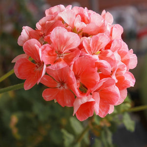 Organic Geranium Pure Essential Oil