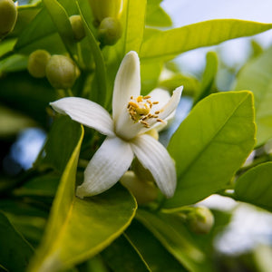 Organic Neroli Pure Essential Oil