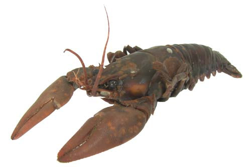 "Crayfish (4""-6"") - Pack of 10"