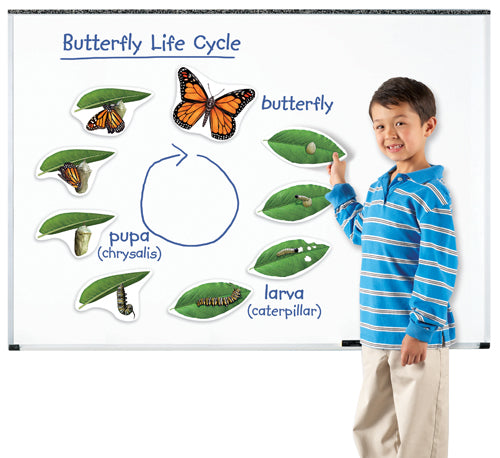 Giant Magnetic Butterfly Life Cycles