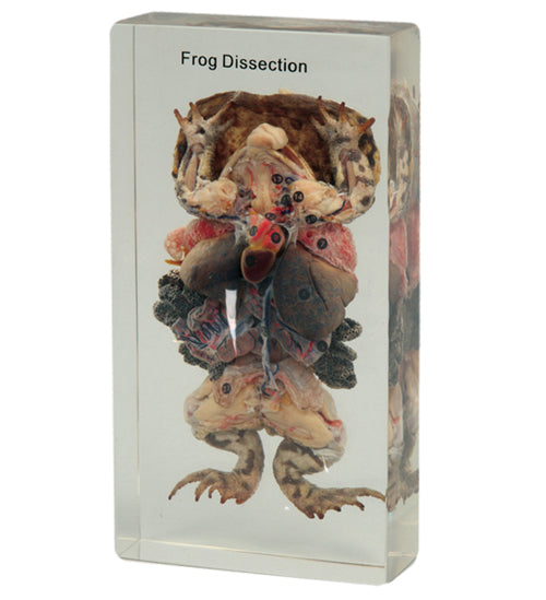 Frog Anatomical Specimen