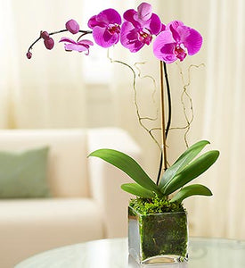 Orchid Plant Color Purple
