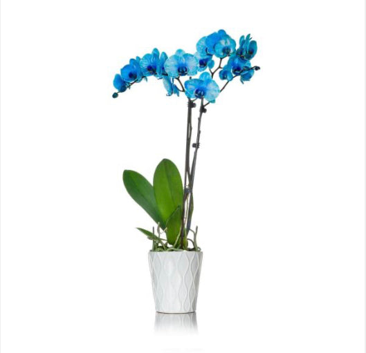 Blue orchid double stems