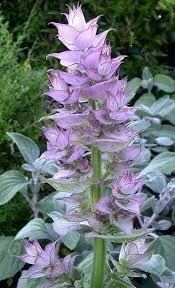 Clary Sage ORGANIC - Salvia Scarea, France-  100% Pure Essential Oil 10ml