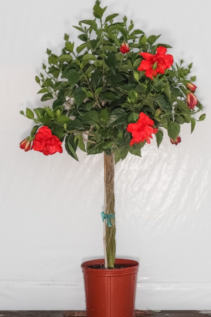3 Gallon Braided Hibiscus Tree Double Red