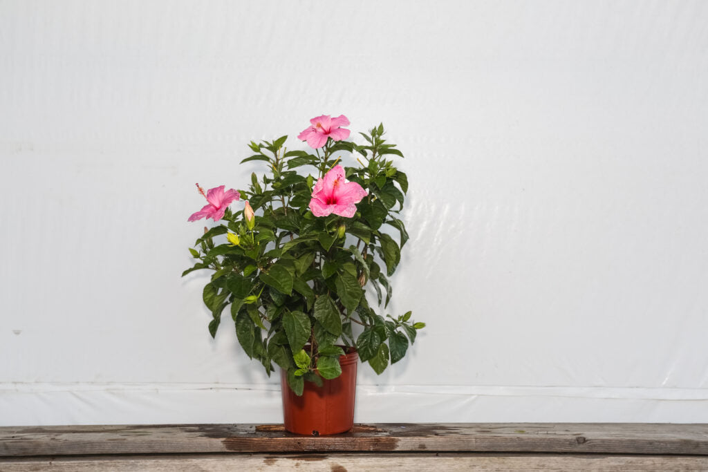3 Gallon Hibiscus Bush Seminole Pink