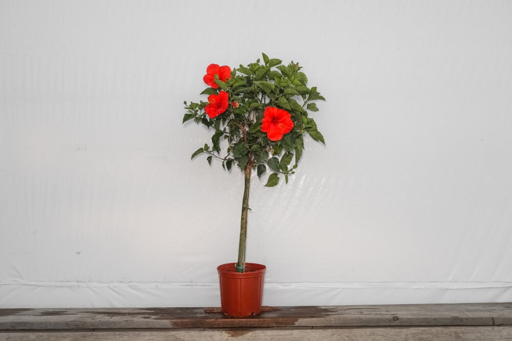 3 Gallon Hibiscus Tree Standard President Red