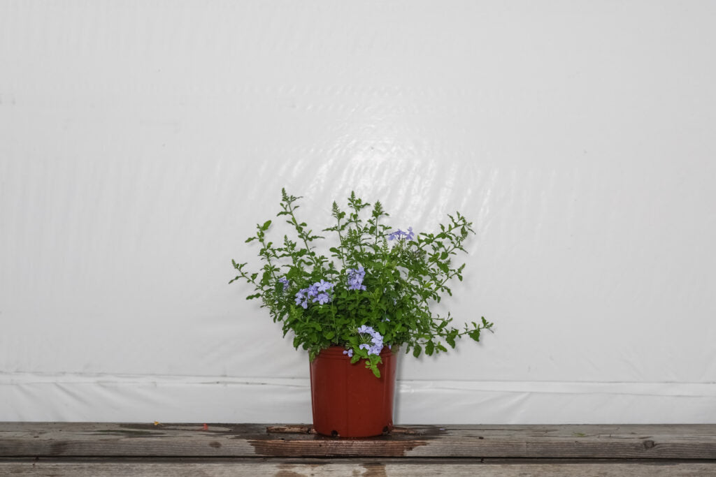 Plumbago Imperial Blue (3 Gallon)