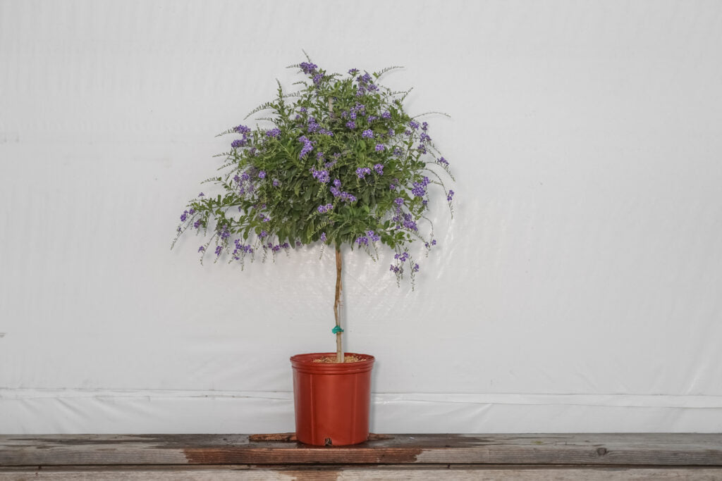 Duranta Sapphire Showers Tree (3 Gallon)
