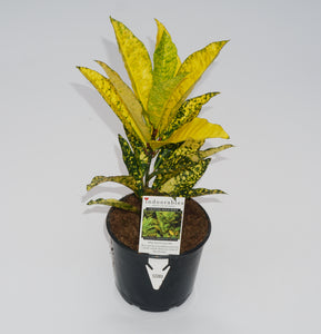 Gallon Gold King Croton
