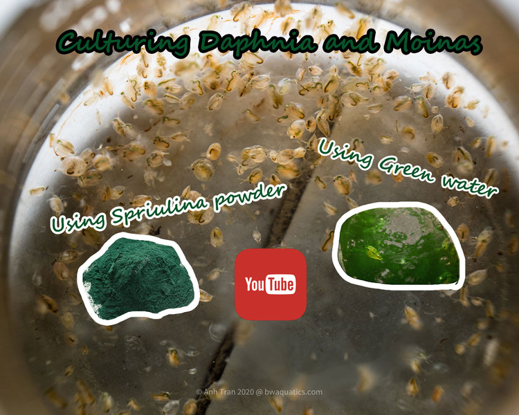 How to Raise Daphnia and Moinas