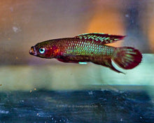 Load image into Gallery viewer, Betta Burdigala - Kubu | Wild Type Bettas