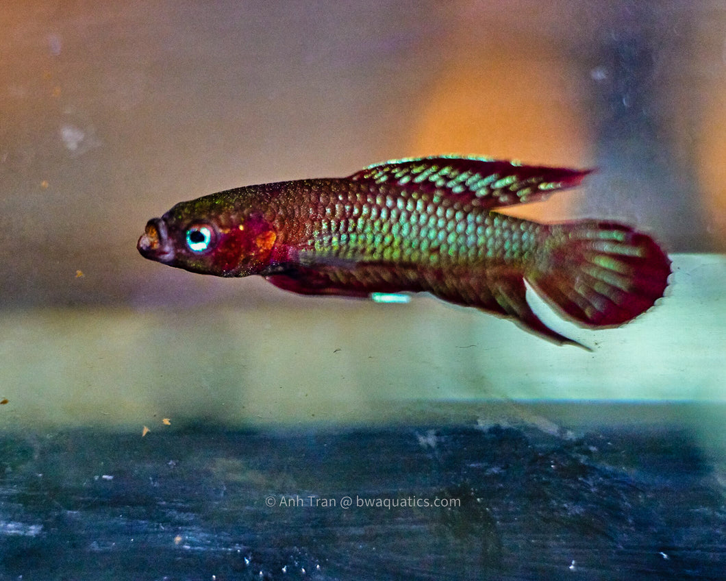 Betta Burdigala - Kubu | Wild Type Bettas