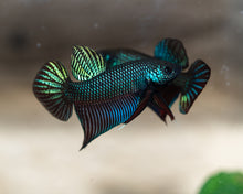 Load image into Gallery viewer, Betta Smaragdina | Rare Bettas