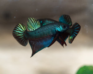 Betta Smaragdina | Rare Bettas