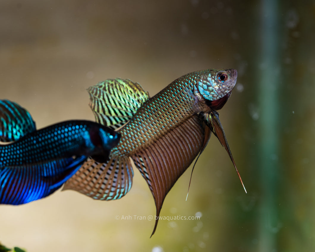 Betta Smaragdina Guitar - Thailand | Rare Bettas