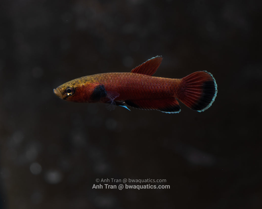 Betta Channoides - Melak | Wild Type Bettas