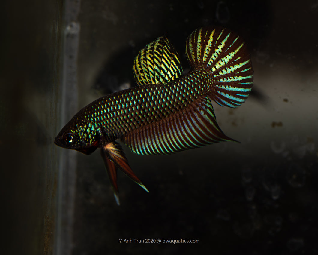 Betta Smaragdina Hybrid (steel blue heterozygous metallic) | BWA