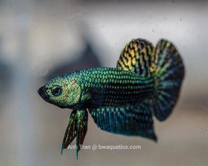 Alien Betta Green Hybrid | Rare Bettas