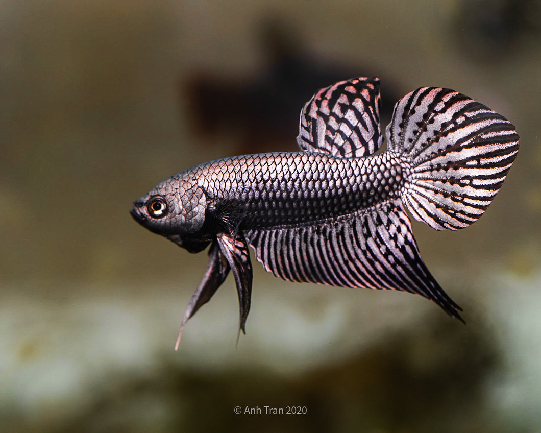 Alien Betta Copper Hybrid | Rare Bettas