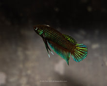 Load image into Gallery viewer, Betta Stiktos | Rare Bettas