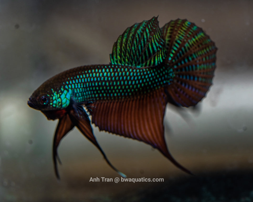 Betta Smaragdina Guitar - BWA | Rare Bettas
