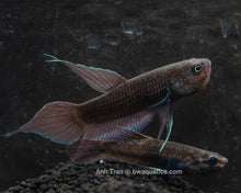 Load image into Gallery viewer, Betta Dimidiata - F1 | Wild Type Bettas