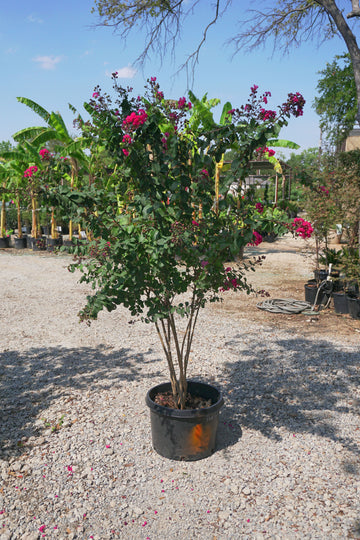 Pink Velour Crape Myrtle, Pink - Lagerstroemia Indica 'Pink Velour'