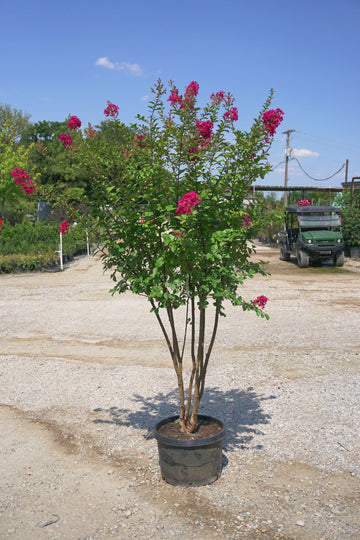 Tonto Crape Myrtle, Red - Lagerstroemia Indica 'Tonto'