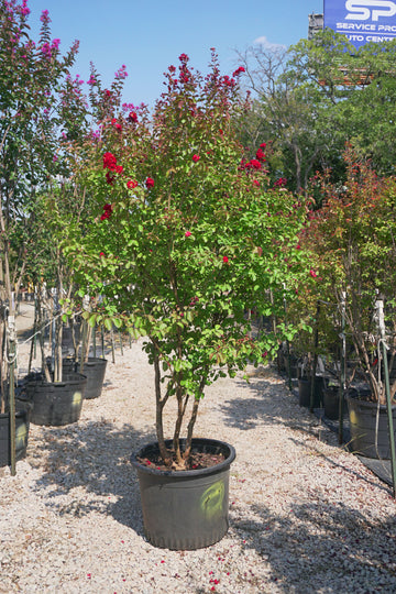 Red Rocket Crape Myrtle, Red - Lagerstroemia Indica 'Whit IV'