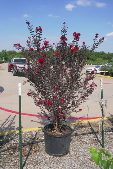 Ebony Fire Crape Myrtle, Red - Lagerstroemia 'Ebony Fire'