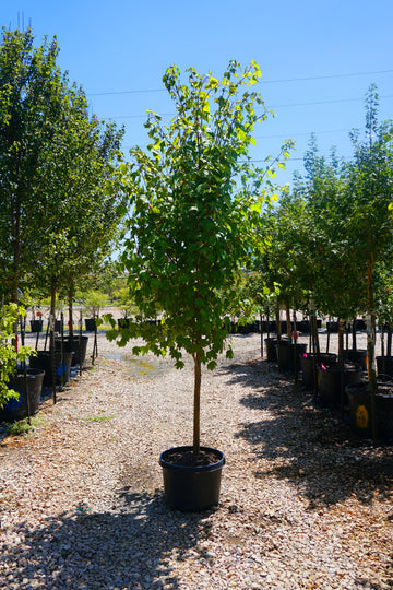 Autumn Blaze Maple - Acer x Freemanii