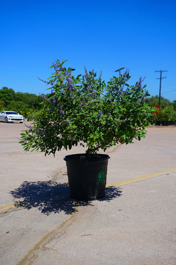 Flip Side Chaste Tree - Vitex x 'Bailtexone' PPAF