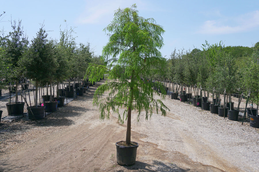 Bald Cypress - Taxodium Distichum