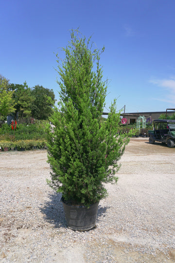 Eastern Red Cedar - Juniperus Virginiana