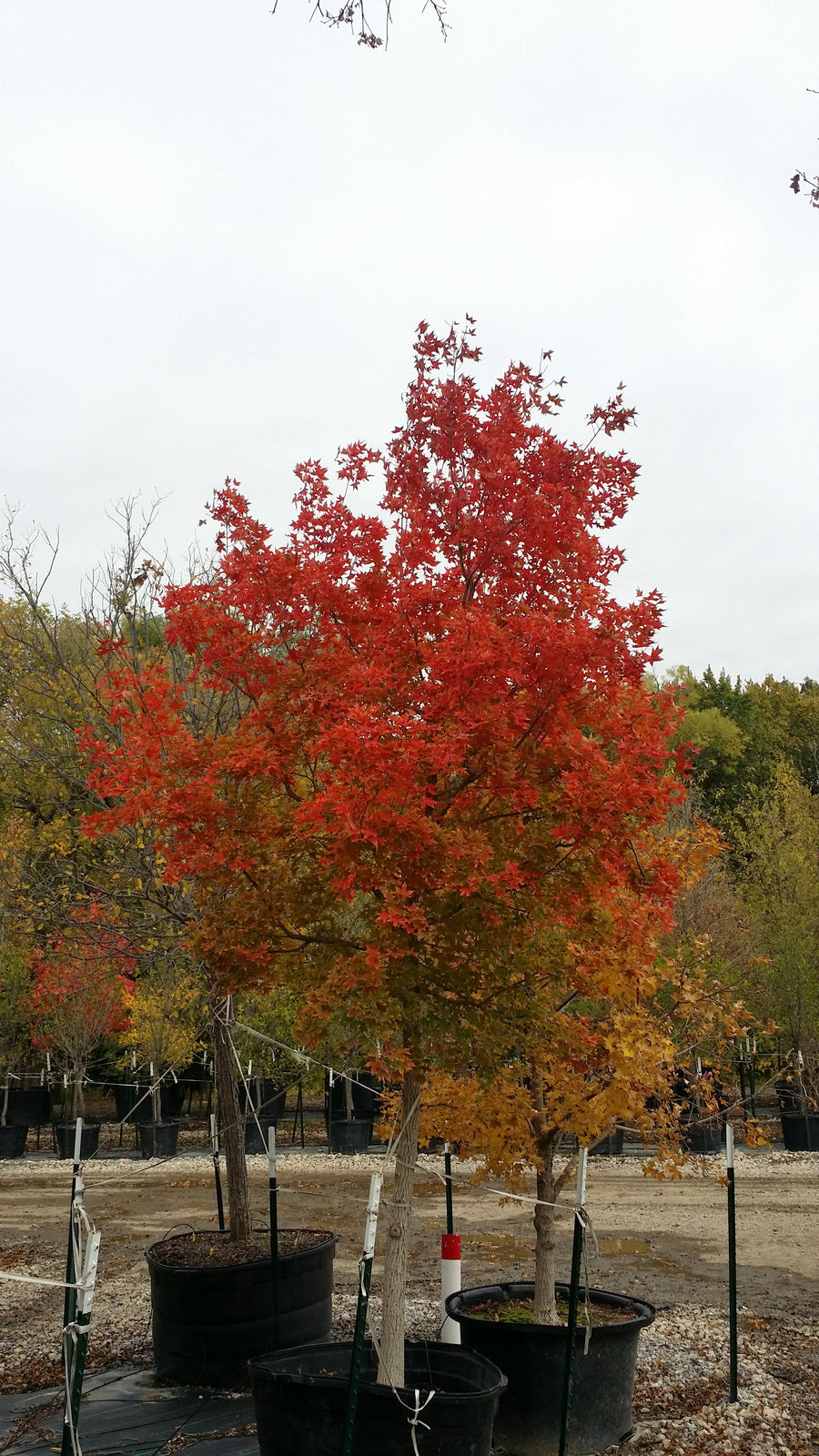 Fire Dragon Shantung Maple - Acer Truncatum 'Fire Dragon'