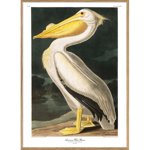 A1 poster - American white pelican