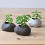 Dark grey rock plant - basil