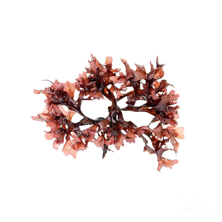 "Irish ""Sea"" Moss (Chondrus Crispus)"