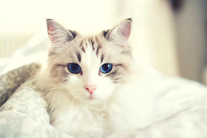 cat eye colors: white cat with blue eyes
