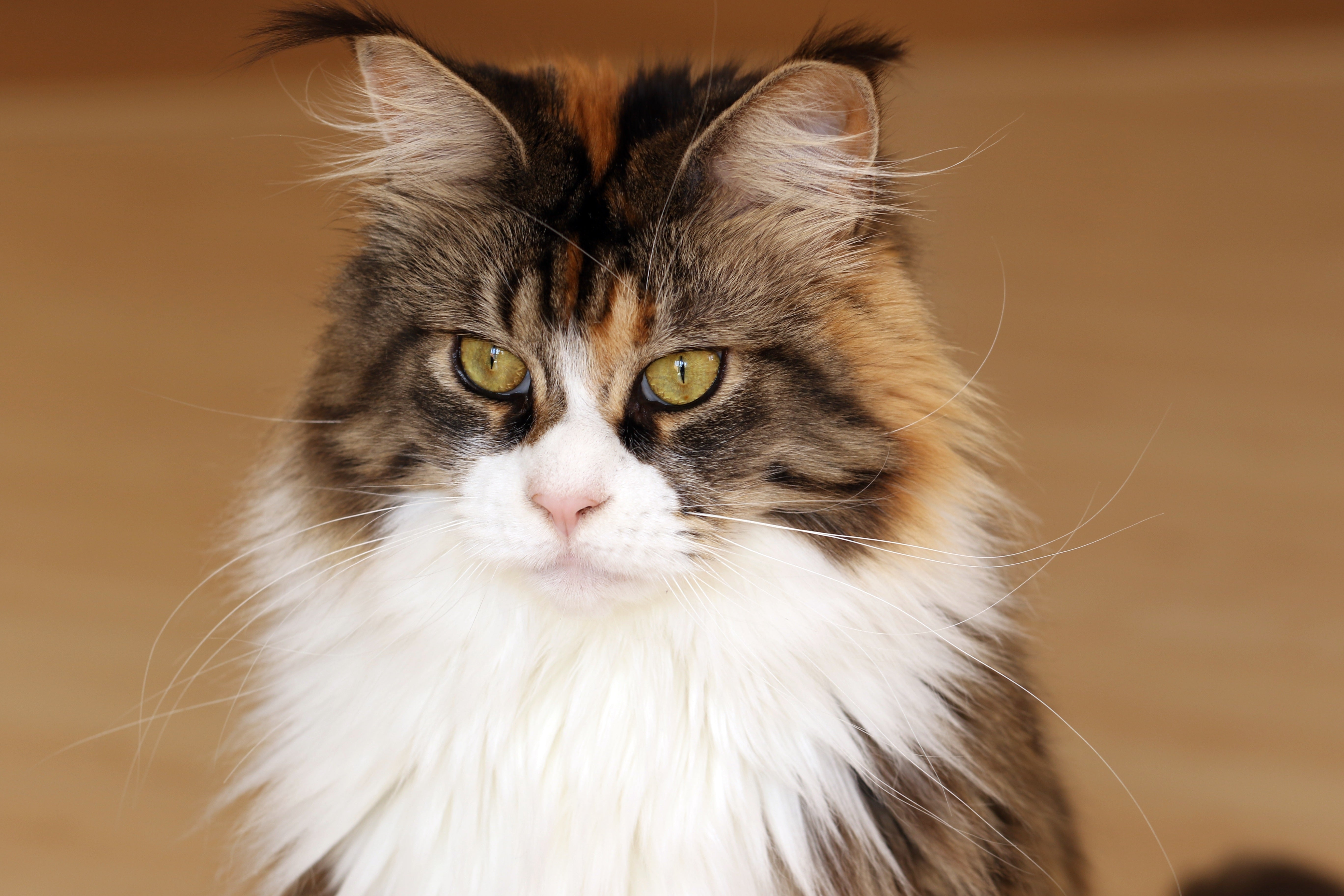 Cat coat genetics: A tricolor cat with long fur
