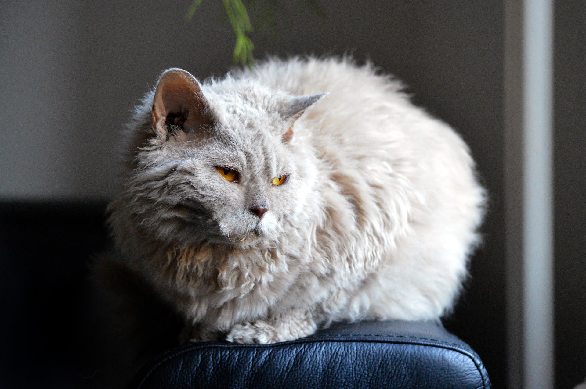 A curly gray cat