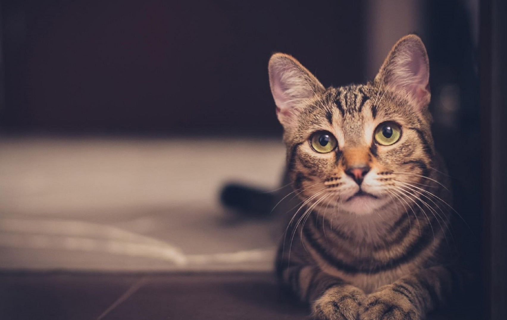 hageman deficiency in cats: Brown tabby cat with yellow eyes